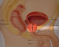 Prostate_Diagram_thumbnail